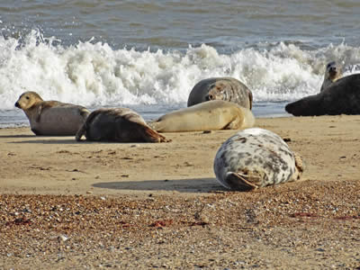 Adult Grey Seals
