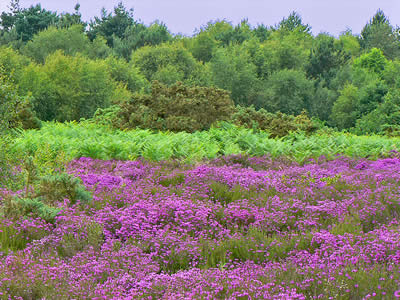 FLowering Purple Heather
