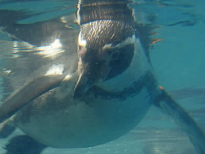 Penguin in the water